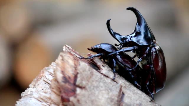 vídeos y material grabado en eventos de stock de rinoceronte beetles son de naturaleza de inserción - tarjeta del día de san valentín