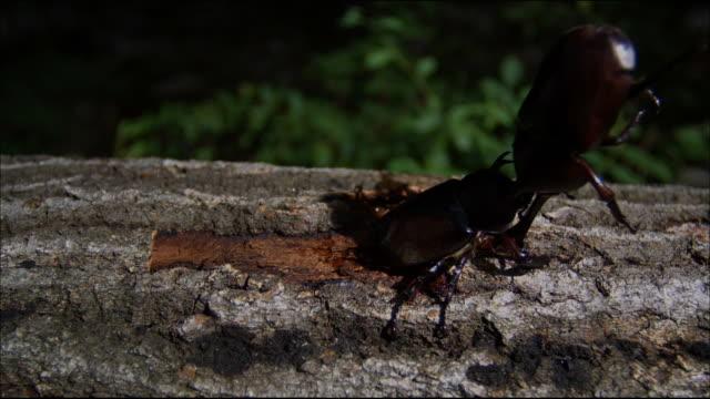 vídeos y material grabado en eventos de stock de rhinoceros beetley grab and attack the other one - dynastinae