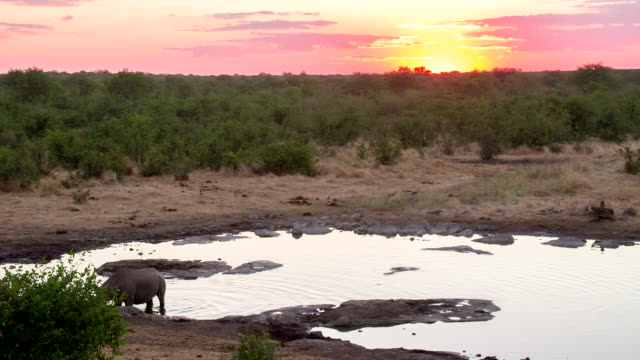 WS Rhinoceros By The Waterhole At Dusk