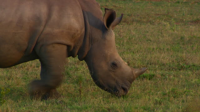 A rhinoceros calf walks across the grass toward its mother. Available in HD.