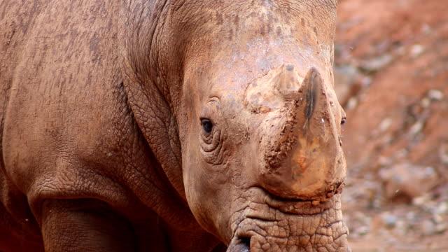rhinoceros close-up - rhinoceros stock videos & royalty-free footage