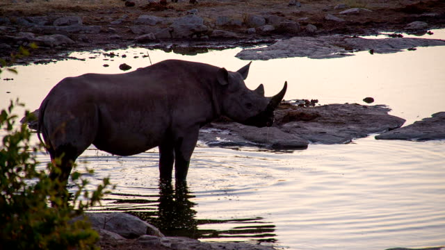 SLO MO Rhinoceros Drinking Water