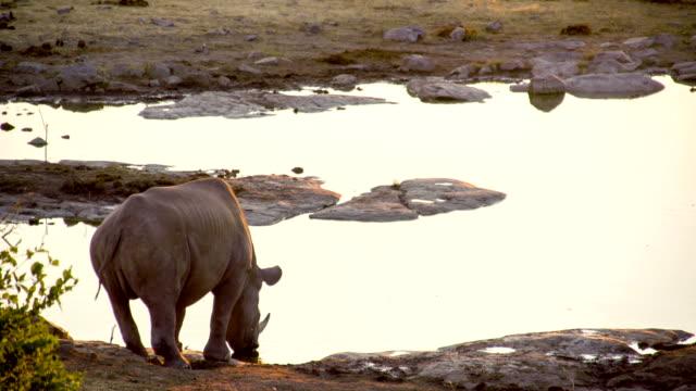 LS Rhinoceros Drinking Water