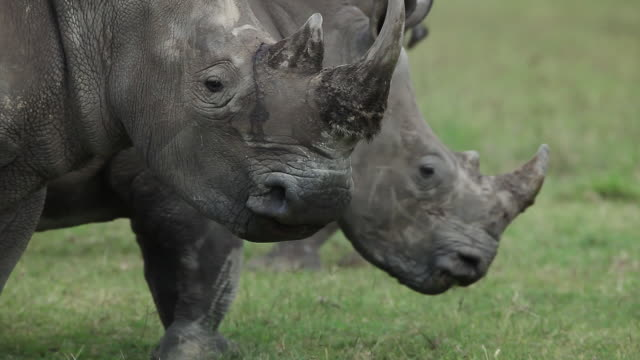 cu pan tu rhinoceros eating grass / national park, africa, kenya - herbivorous stock videos and b-roll footage