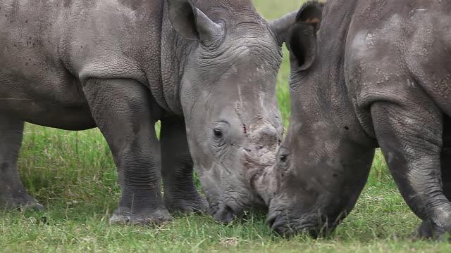 CU Rhinoceros eating grass / National Park, Africa, Kenya