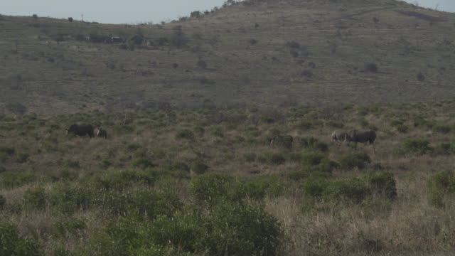 rhinoceros family / south africa, southern africa, africa - south africa stock videos & royalty-free footage