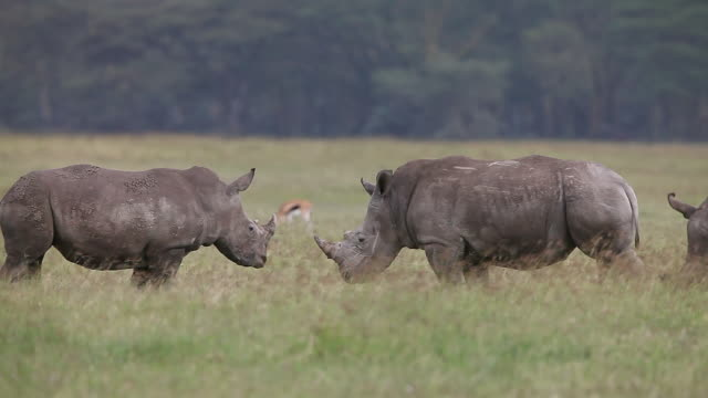 ms pan rhinoceros fighting with each other / national park, africa, kenya - 攻撃的点の映像素材/bロール