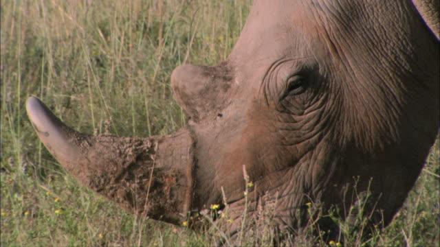 CU TU Rhinoceros grazing in grassland / South Africa, South Africa, Africa