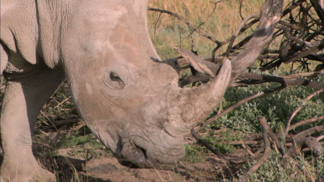ms rhinoceros grazing  / south africa, south africa, africa - horned stock videos & royalty-free footage