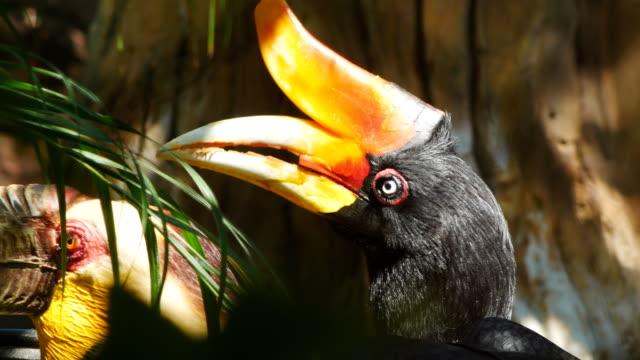 stockvideo's en b-roll-footage met neushoorn neushoornvogel - dierlijke mond