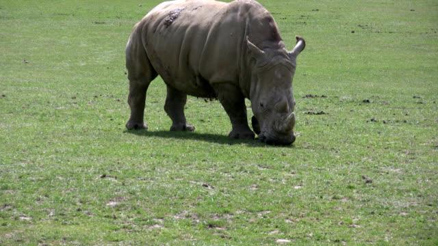 rhinoceros  is eating grass