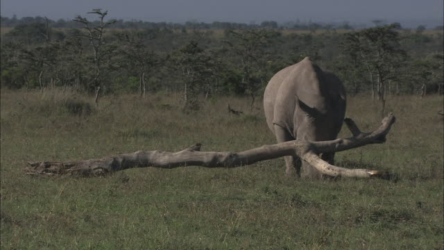 a rhinoceros lifts and pushes a dead branch. - horned stock videos & royalty-free footage