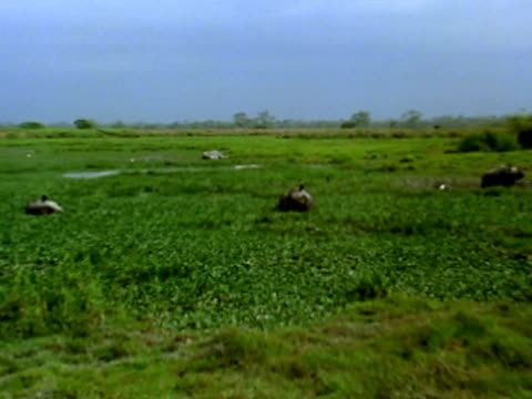 stockvideo's en b-roll-footage met rhinoceros lying in water hyacinth weeds - achterover leunen