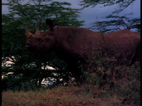A rhinoceros mills around on a grassy rise near lion cubs resting in a tree.