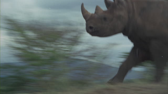 A rhinoceros runs across a field and behind a tree.