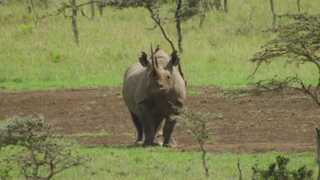 ws aerial rhinoceros standing in national park, giraffe walking in front / kenya - standing stock videos & royalty-free footage