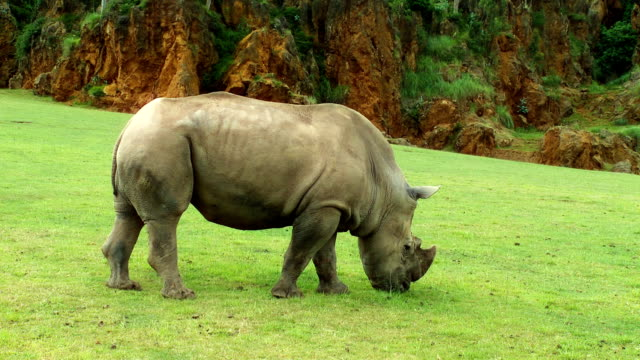 rhinoceros - animal attribute stock videos and b-roll footage
