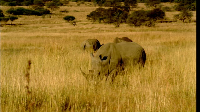 TS Rhinoceros walking and grazing in high veld, its herd beyond