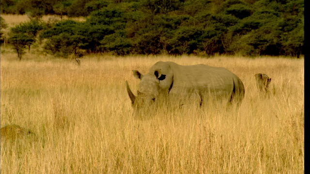 TS Rhinoceros walking and grazing in high veld