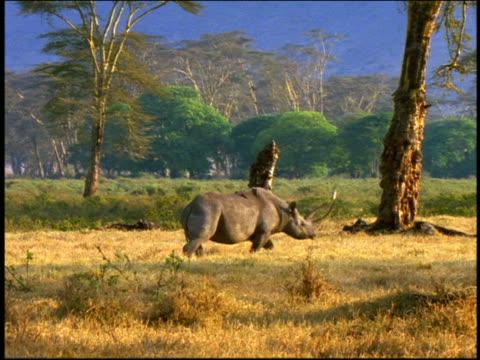 vídeos y material grabado en eventos de stock de profile rhinoceros walking on grassy plain / trees in background / serengeti, tanzania, africa - animales de safari