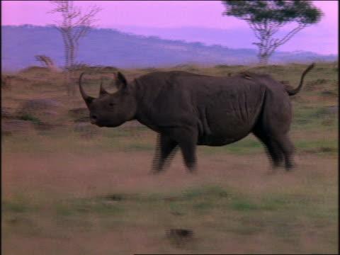 rhinoceros walking toward camera, turning then looking at camera then trotting away on plain /africa - 2001 stock-videos und b-roll-filmmaterial