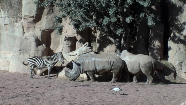 vidéos et rushes de rhinoceros & zebra - petit groupe d'animaux