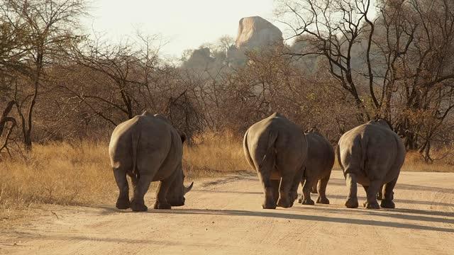 vidéos et rushes de rhinos in south africa - république d'afrique du sud