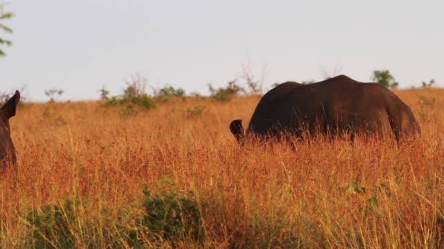 stockvideo's en b-roll-footage met rhinos in south africa - kleine groep dieren