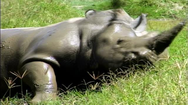 vídeos y material grabado en eventos de stock de rhino's mud bath - acostado