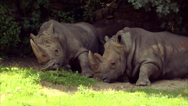Rhinos rest in the shade of a tree.