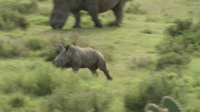 rhinos - tierfamilie stock-videos und b-roll-filmmaterial