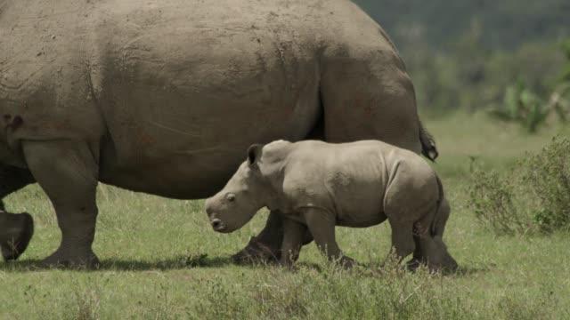 rhinos - rhinoceros stock videos & royalty-free footage