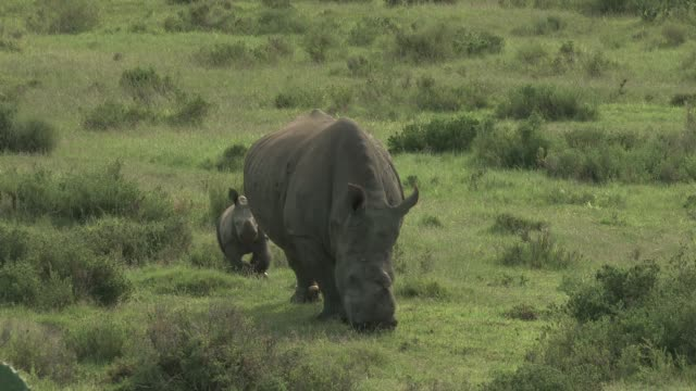rhinos - animal family stock videos and b-roll footage