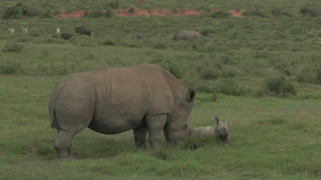 rhinos - animal family stock videos & royalty-free footage