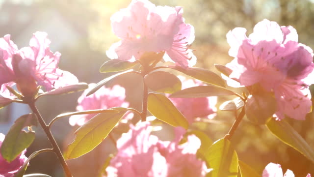 rhododendron blossoms backlit by sunset - rhododendron stock videos and b-roll footage