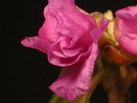 cu t/l rhododendron bud blooming into pink flower  - staubblatt stock-videos und b-roll-filmmaterial