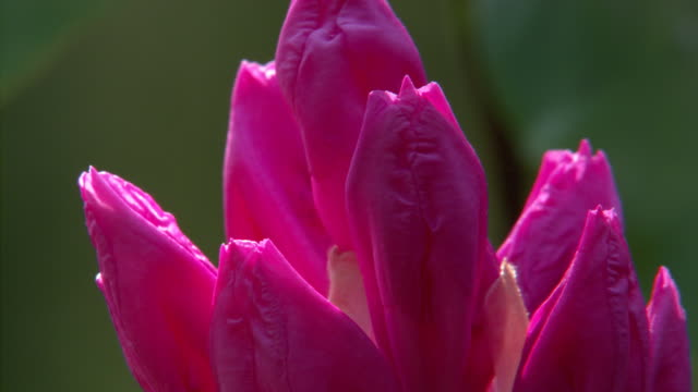 rhododendron buds - rhododendron stock videos and b-roll footage