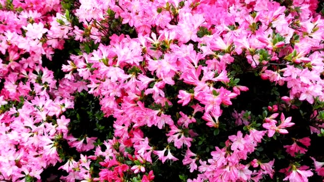 rhododendron plants in bloom, japan - rhododendron stock videos and b-roll footage
