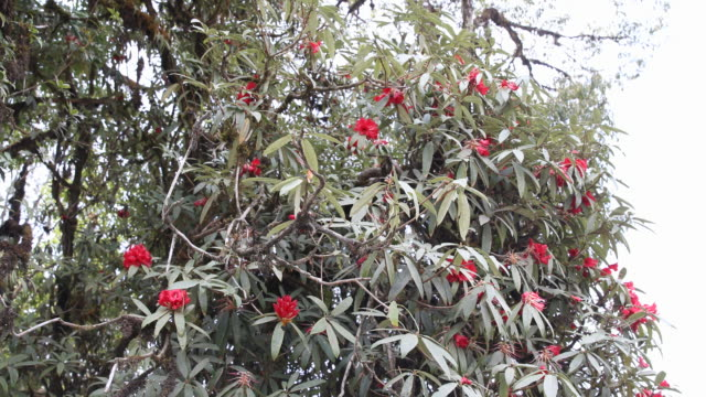 rhododendron tree with red flowers - rhododendron stock videos and b-roll footage