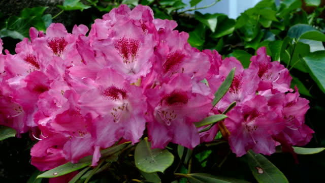 rhododendron (genus rhododendron) - rhododendron stock videos and b-roll footage