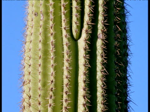 ribbed and spined stem of saguaro cactus, arizona - cactus texture stock videos & royalty-free footage