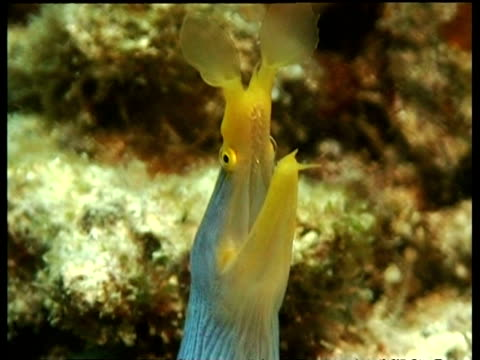 cu ribbon eel, head with mouth open, mabul, borneo, malaysia - moray eel stock videos and b-roll footage