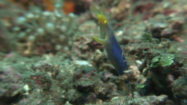 ribbon eel - moray eel stock videos and b-roll footage