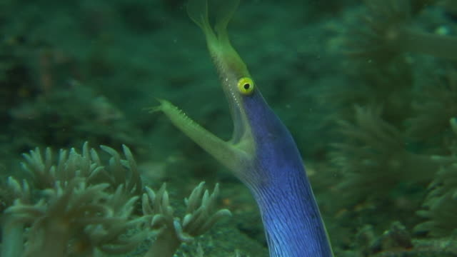 ribbon eel - moray eel stock videos & royalty-free footage