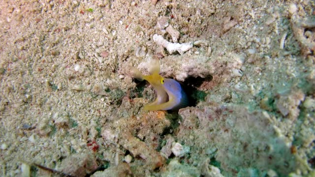 ribbon moray hides in the hole - moray eel stock videos and b-roll footage