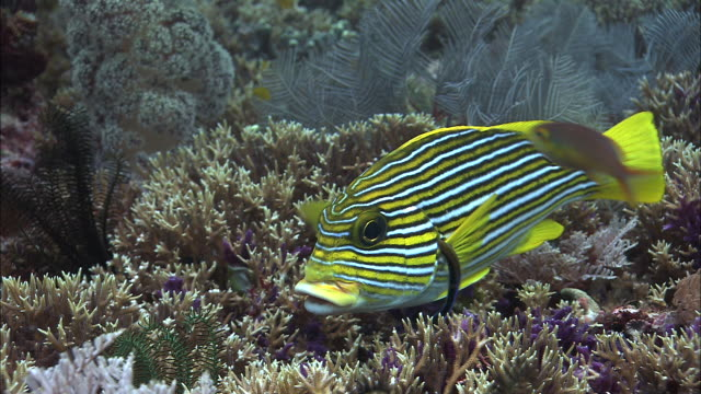 ribbon sweetlips and cleaner wrasse on coral reef, west papua, indonesia - wrasse stock videos & royalty-free footage