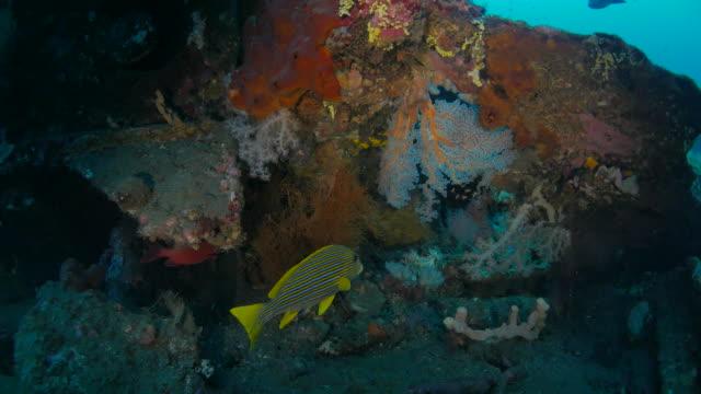 ribboned sweetlips inside the usat shipwreck undersea, bali, indonesia (4k) - sweetlips stock videos & royalty-free footage