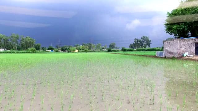 rice crop field - raw food stock videos & royalty-free footage
