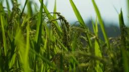 Rice crop growing in field