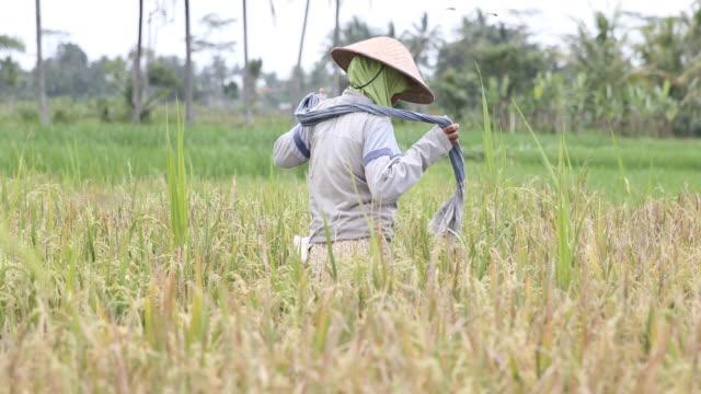 rice crop in java in indonesia - 麦わら帽子点の映像素材/bロール